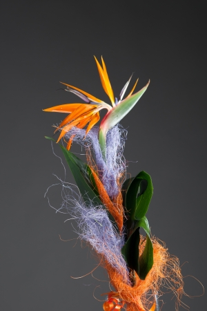 bird of paradise flower (strelitzia) on grey background photo