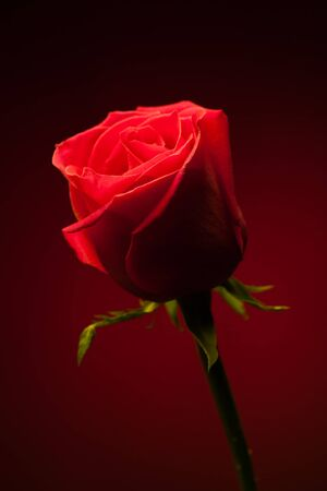 single rose: red rose on red background Stock Photo
