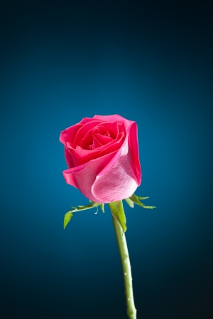 pink rose on blue background with copy-space photo