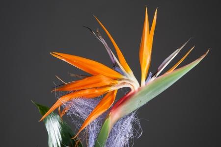bloom bird of paradise: bird of paradise flower (strelitzia) on grey background