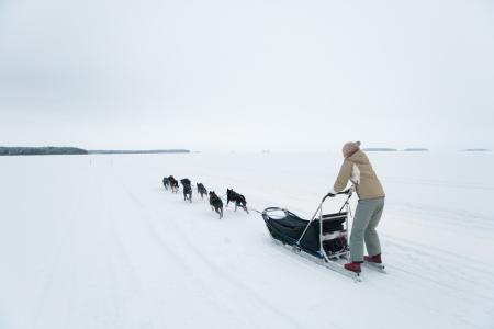 sled dog: husky dog team riding