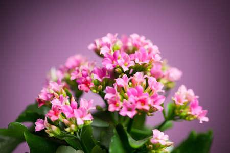 hybrida: beautiful Verbena hybrida flowers Stock Photo