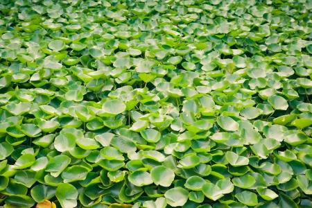 moltitudine: moltitudine di acqua pianta verde giglio Archivio Fotografico