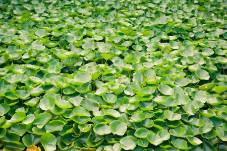 multitude: multitude of green water lily plant