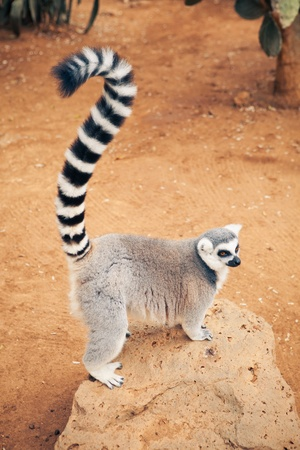ring tailed: cute ring-tailed lemur Stock Photo