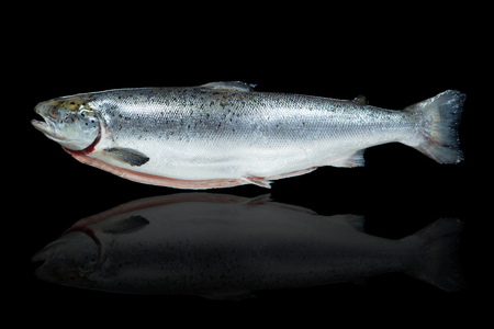 king salmon: salmon fish against black background with reflection