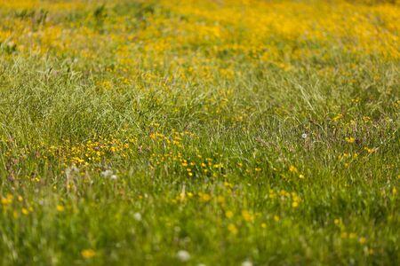 field of flowers: green meadow with yellow field flowers