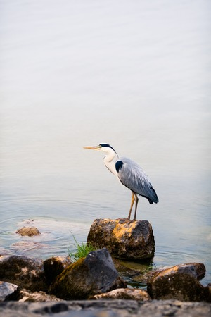 water bird: heron bird on a stone against water background Stock Photo