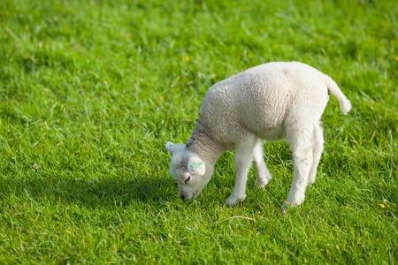 ovejas bebes: cordero granja sobre fondo verde hierba Foto de archivo