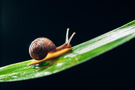 sluggish: snail on the leaf against black background