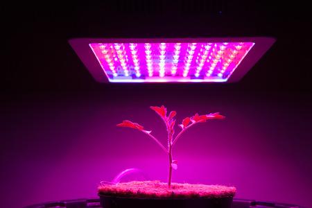jonge tomatenplant onder LED-licht groeien Stockfoto