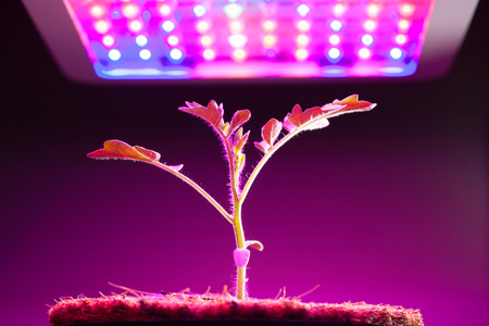 young tomato plant under LED grow light