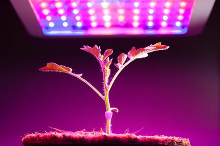 led light: young tomato plant under LED grow light