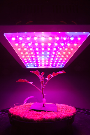 indoor plants: young tomato plant under LED grow light