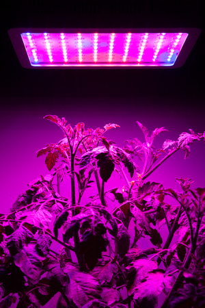 indoor plants: ripe tomato plant under LED grow light