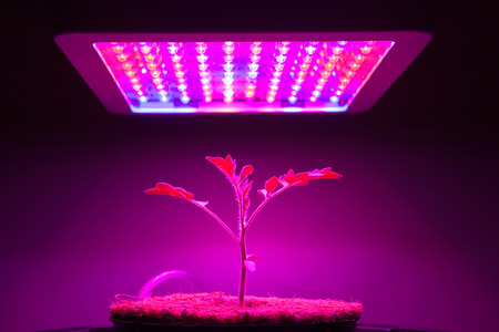 grows: young tomato plant under LED grow light