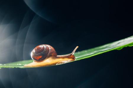 sluggish: snail on the leaf against dark bokeh background Stock Photo