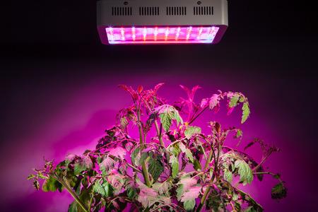 grows: ripe tomato plant under LED grow light