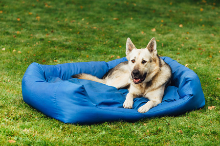 lazybones: smiling dog on his bed, green grass background