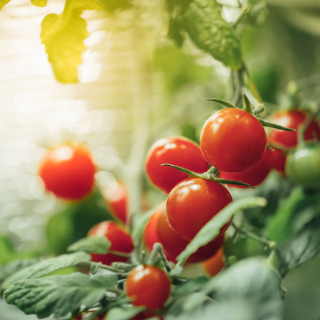 ripe cherry tomatoes bush with artificial grow light