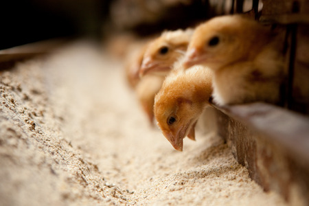 chicks feed on the farm