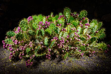 cactus Opuntia with flowers at night with illumination Stock Photo