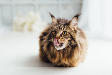 Maine Coon cat on white background Banco de Imagens
