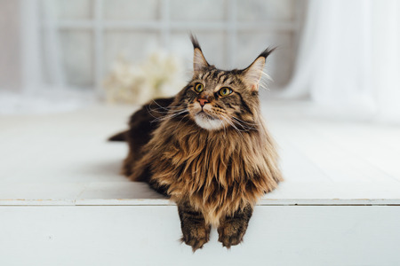 Maine Coon cat on white background 写真素材
