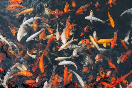 koi carp fish, top view