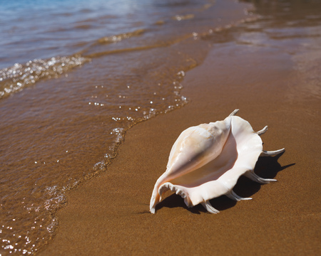 big seashell spider conch (lambis truncata) on the beach