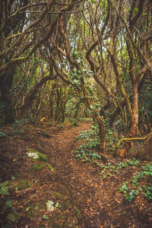 forest in Anaga rural park, Tenerife Фото со стока - 121846094