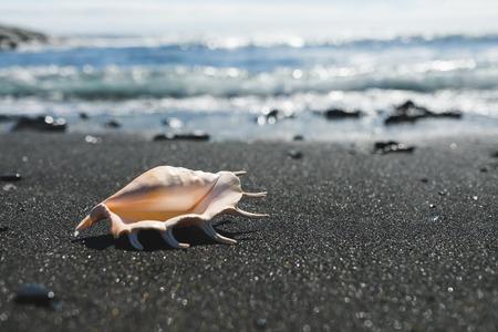 big seashell spider conch (lambis truncata) on black sand shore