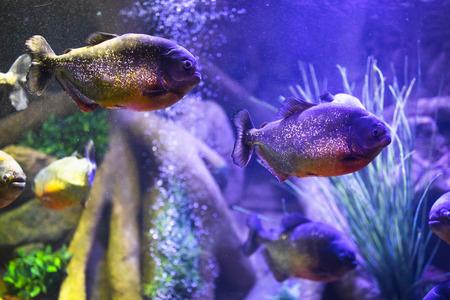 red-bellied piranha fish in aquarium with illumination Фото со стока - 123075468