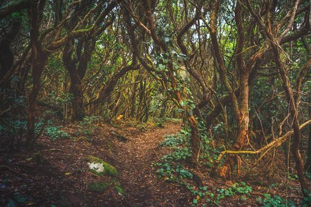 forest in Anaga rural park, Tenerife Фото со стока - 123075658