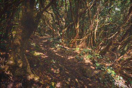 forest in Anaga rural park, Tenerife Фото со стока - 123075660