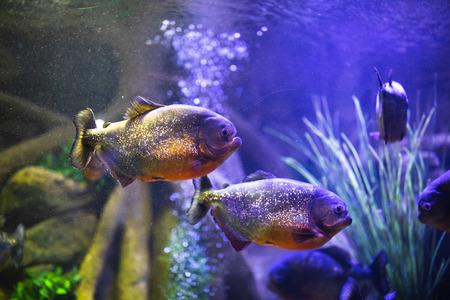 red-bellied piranha fish in aquarium with illumination Фото со стока