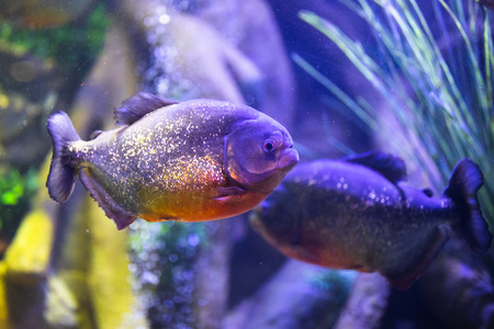 red-bellied piranha fish in aquarium with illumination Фото со стока - 123075726