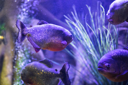 red-bellied piranha fish in aquarium with illumination Фото со стока