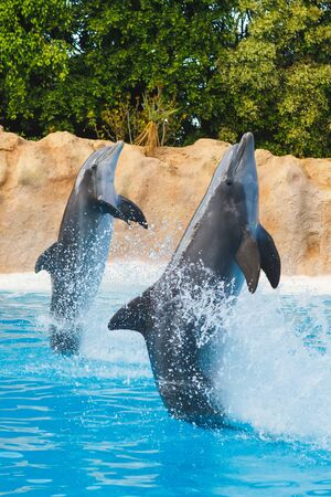 two dancing dolphins in blue water