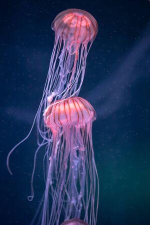 świecąca meduza chrysaora pacifica pod wodą
