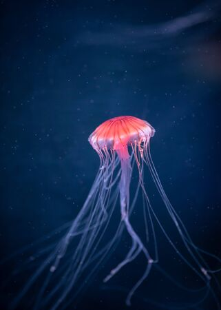 glowing jellyfish chrysaora pacifica underwater 免版税图像
