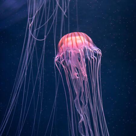 glowing jellyfish chrysaora pacifica underwater Фото со стока