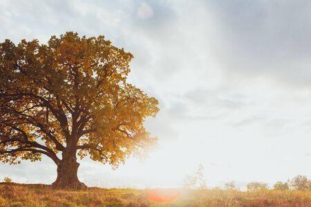 Roble con follaje amarillo en el soleado día de otoño