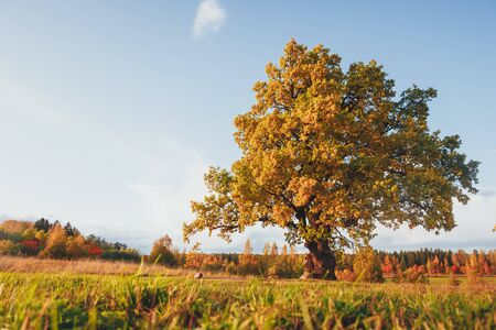 oak tree with yellow foliage at sunny autumn day