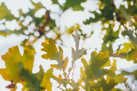 yellow foliage of oak tree at sunny autumn day