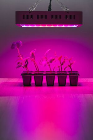 cucumber sprouts under led light grow lamp