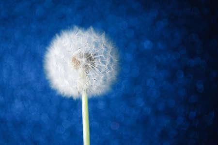 dandelion flower on blue bokeh background 免版税图像