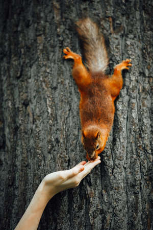 squirrel feeding with a hand on a tree Banque d'images