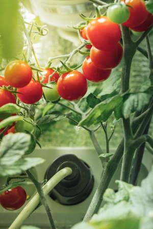 cherry tomato harvest under artificial light of HPS grow lamp