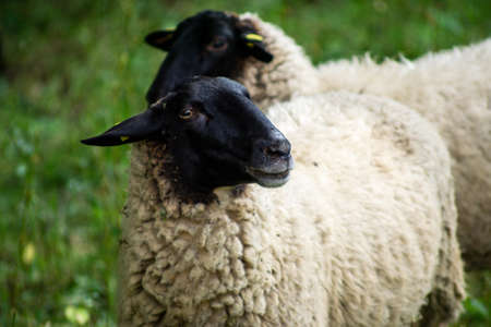 Black faced Sheep stands on a meadow